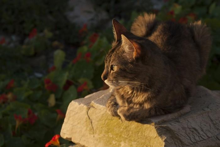 黄昏時の猫