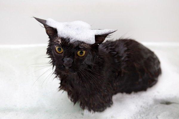 シャンプーをした黒猫