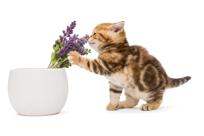 ラベンダーを嗅いでいる子猫