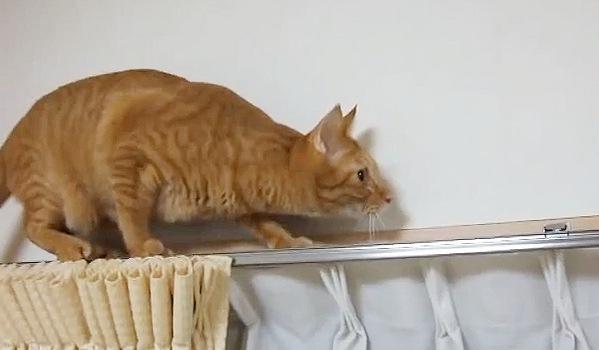 カーテンレールを低い体勢で歩く猫