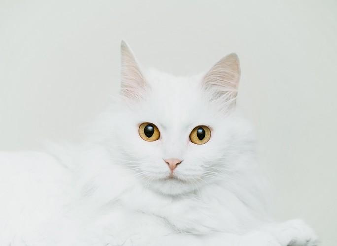 白色のサイベリアン