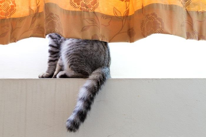 カーテンに隠れる猫の写真