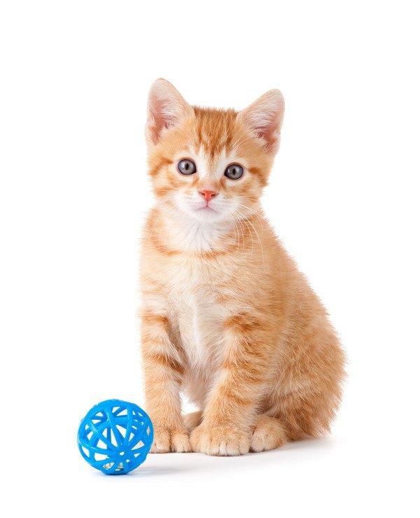 青いおもちゃを前にする茶色の子猫
