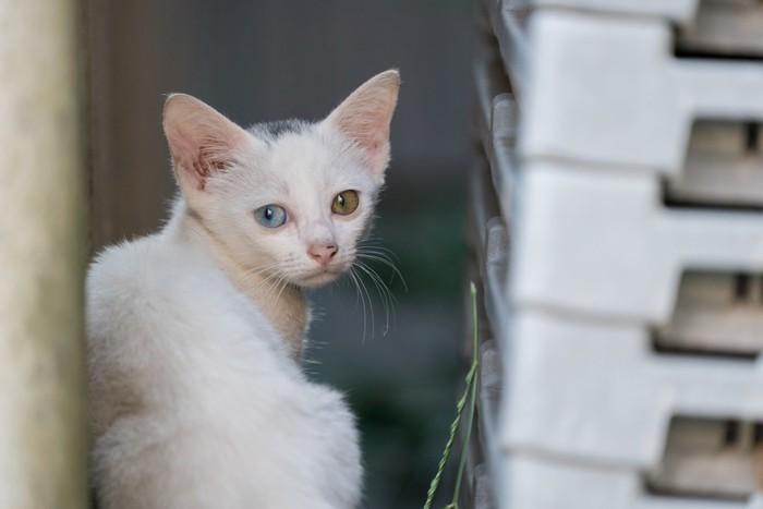 オッドアイの白子猫