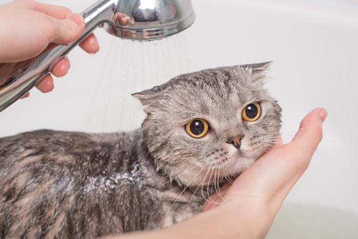 おとなしくシャワーを浴びる猫