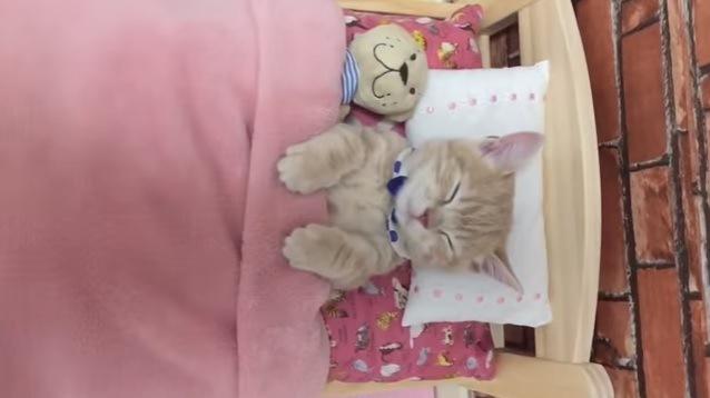 仰向けに眠る子猫(隣にぬいぐるみ)