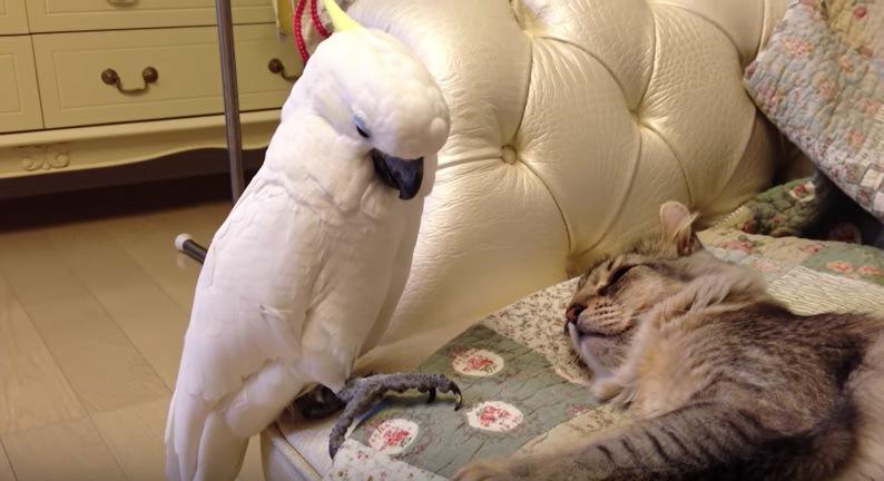 足を猫に伸ばしはじめるオウム