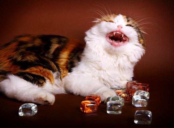 氷で遊ぶ猫