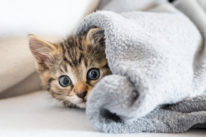 ブランケットからこちらを見る猫