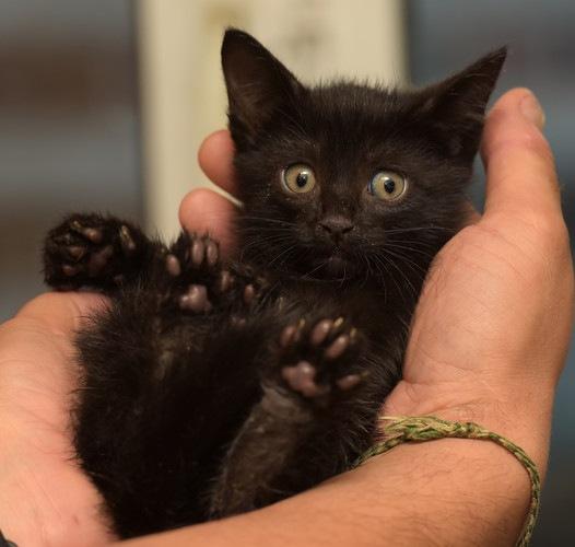 黒い手乗り猫