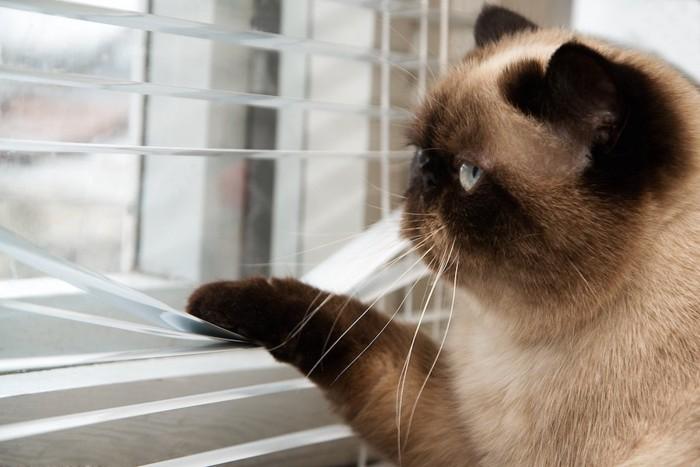 ブラインドを下げて外を見つめる猫