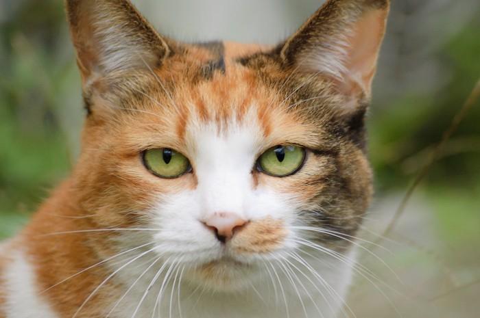 こちらを見つめる三毛猫の顔アップ