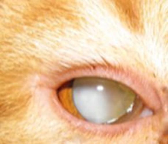 猫の白く濁った目