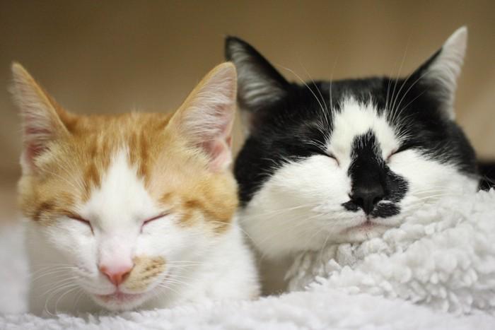 寄り添って一緒に眠る二匹の猫