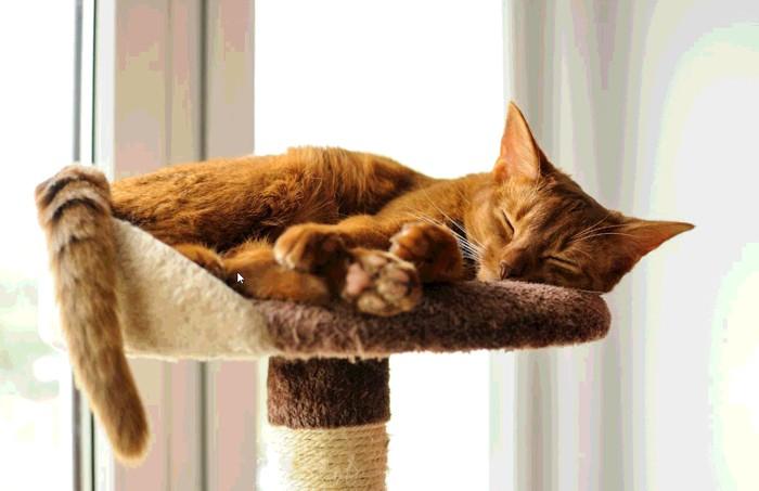 キャットタワーで寝ているアビシニアン