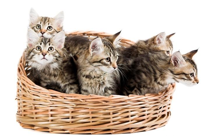 サイベリアンの子猫達