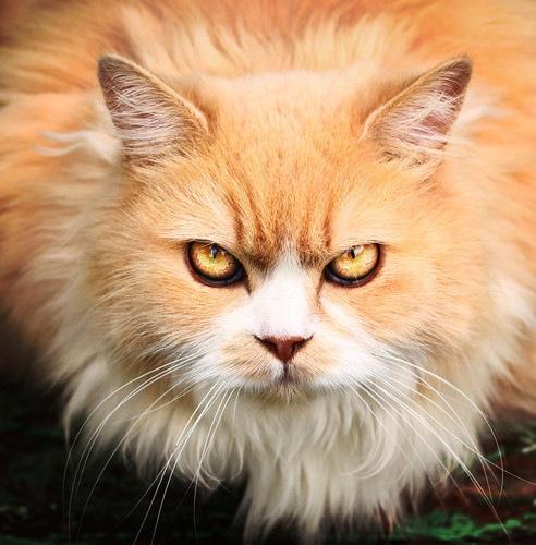 モフモフの猫