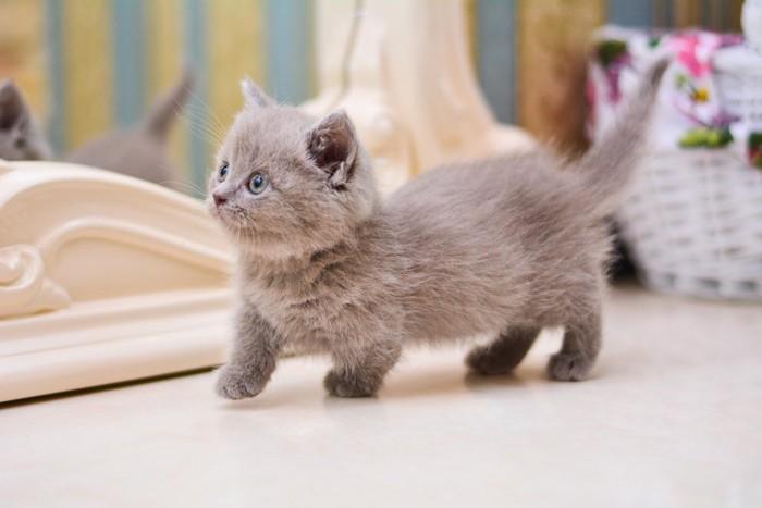 どこかに向かうマンチカンの子猫