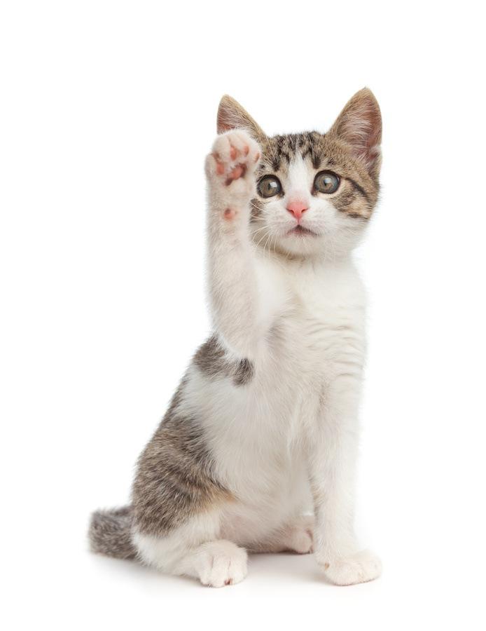 片手をあげる仔猫