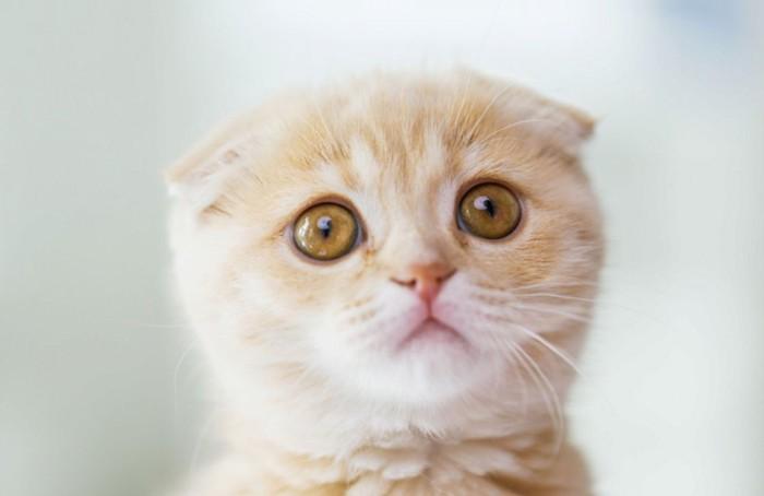 子猫スコティッシュフォールドの顔アップ