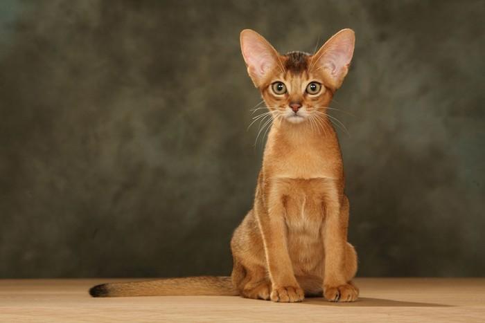 座ってこちらを見つめるアビシニアンの子猫