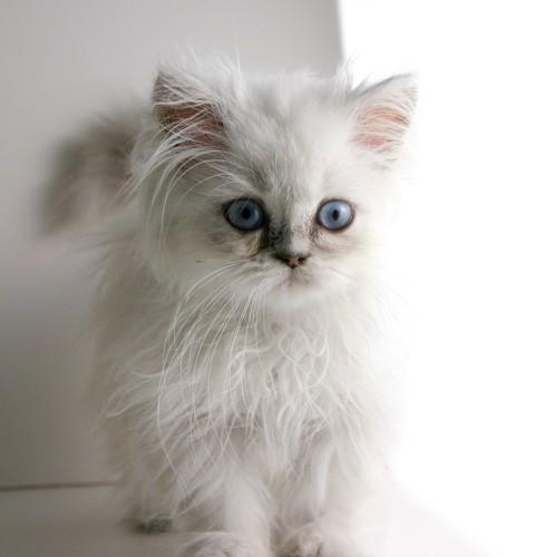 白いヒマラヤンの子猫