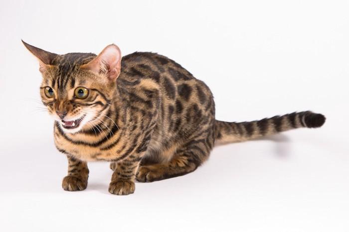 怯えた表情で鳴く猫
