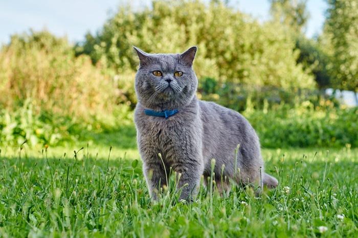 首輪をつけた猫の写真