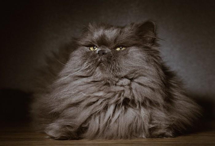 くつろぐ黒いペルシャ猫