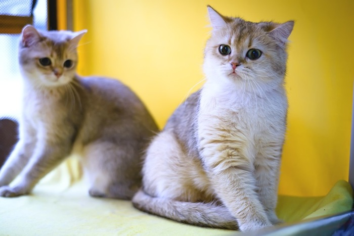 バーミラ子猫