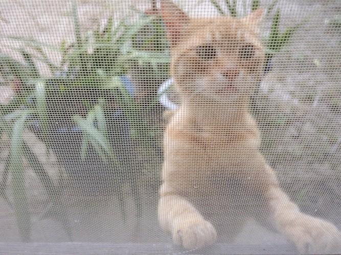 網戸越しに家の中を見る猫