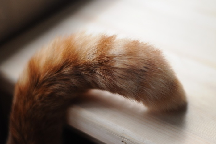 猫の茶色いしっぽ