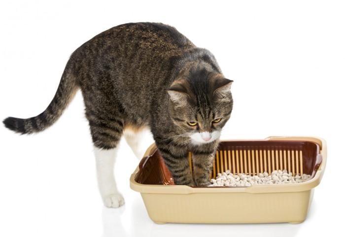 猫砂に足を入れる猫