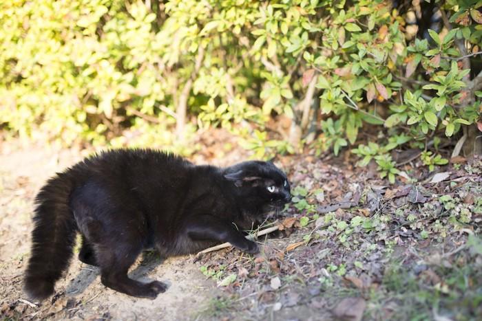 警戒して耳を倒している黒猫