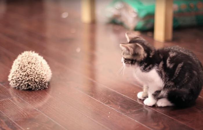 ハリネズミに近づく子猫