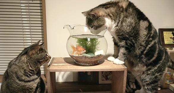 金魚鉢を覗き込む猫
