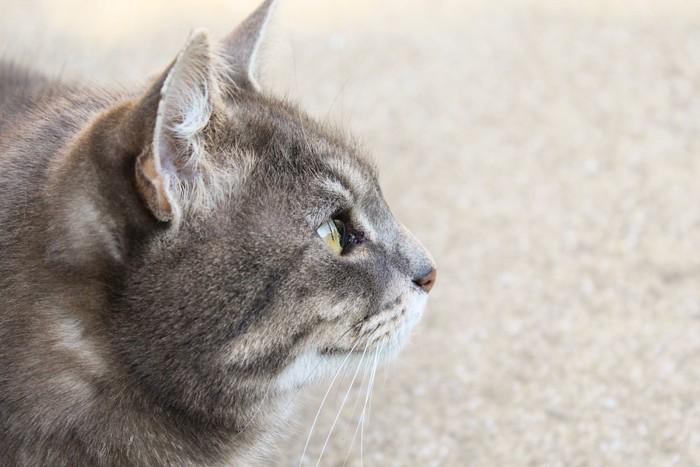 横顔を見せる猫