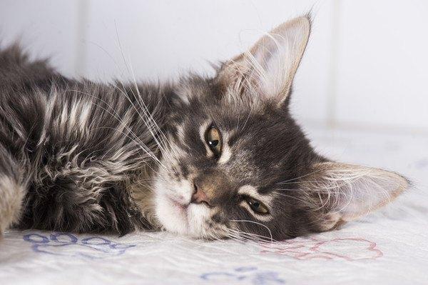 寝そべる長毛種猫