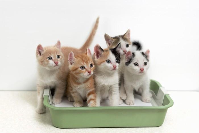 トイレに入る子猫達