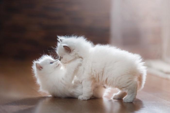 じゃれあう二匹のバーマンの子猫