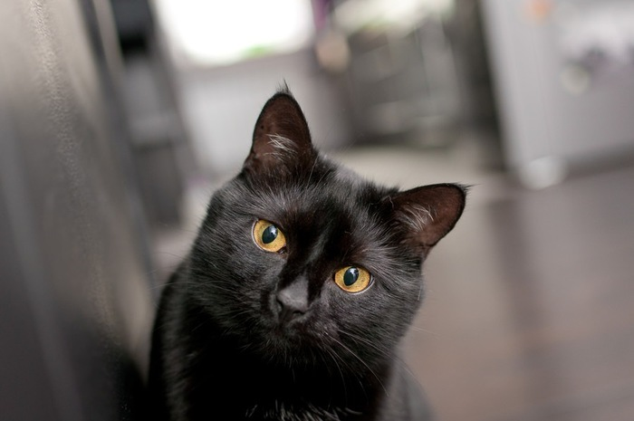 艶のある毛の黒猫