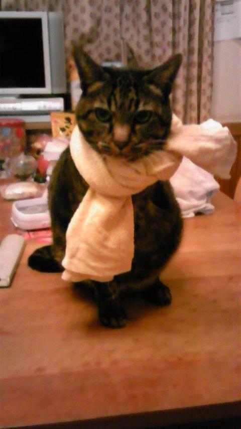タオルをマフラー代わりにする猫