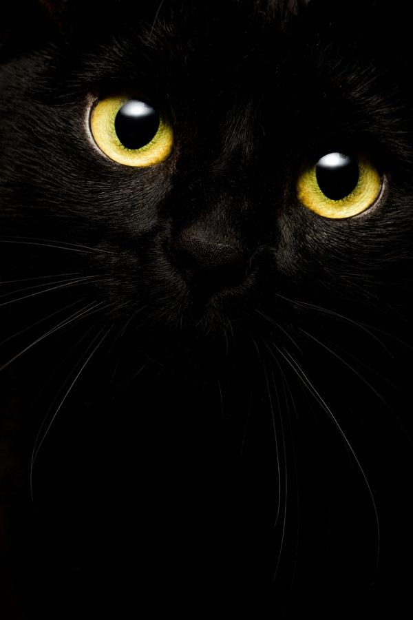 黒い背景の黒猫