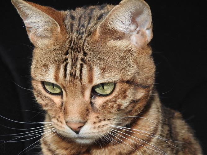 落ち込むベンガル猫