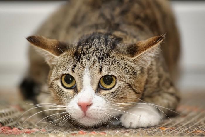 怯えて姿勢を低くする猫