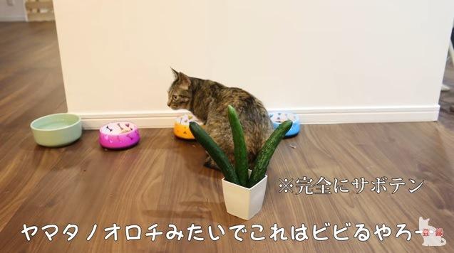 猫の後ろに3本のキュウリ