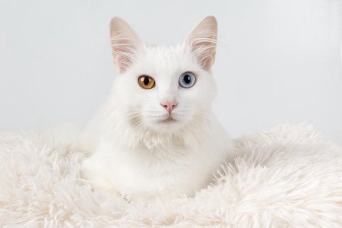白いマットの上でくつろぐオッドアイの白猫