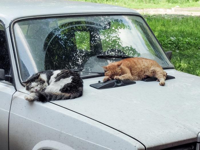 車の上で眠る猫の写真
