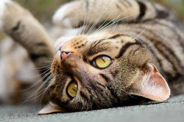 仰向けの猫の顔