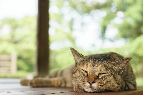 眠るキジ猫